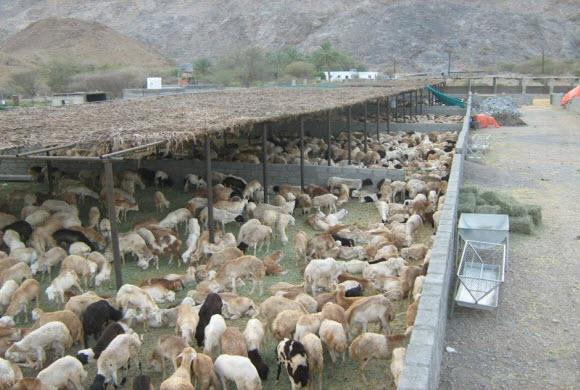 قرية العليا تشهد قرعة لأحواش الغنم والإبل بالمحافظة صباح الغد
