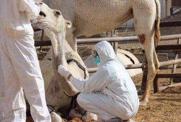 «الزراعة» تحصر أعداد الإبل بسوق الجنادرية