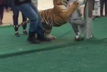 نمر يهجم على طفلة في سكاكا