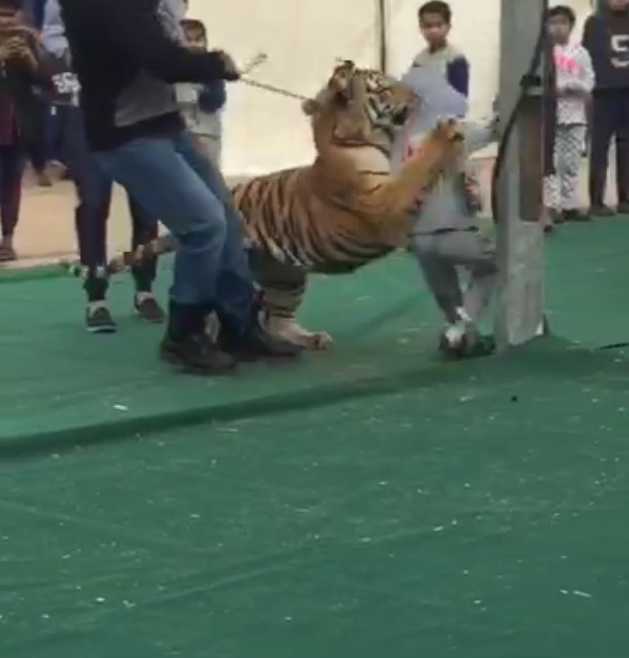 نمر يهجم على طفلة في سكاكا (فيديو)