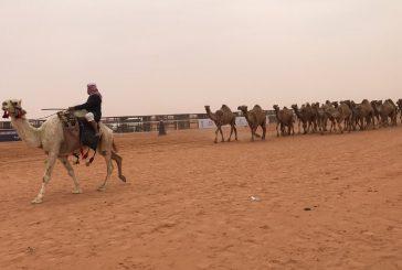انطلاق فعاليات مهرجان الملك عبدالعزيز للإبل في نسخته الجديدة