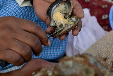 صيد اللؤلؤ يعود من جديد للساحل الشرقي بعد أن تناساها أهل الخليج