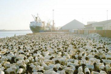 البيئة: وصول أكثر من مليوني رأس من المواشي الحية عبر ميناء جدة الإسلامي