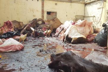 بالصور..مصادرة 10 أطنان لحوم فاسدة بمكة.. تم ذبحها في أحواش عشوائية