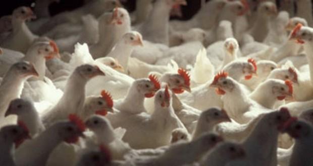 """""""وزارة البيئة والمياه والزراعة"""" تحظر استيراد الطيور الحية من الهند"""