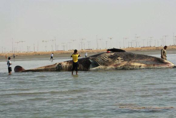 شاطئ الموسم بجازان يلفظ حوتاً نافقاً طوله 15 متراً